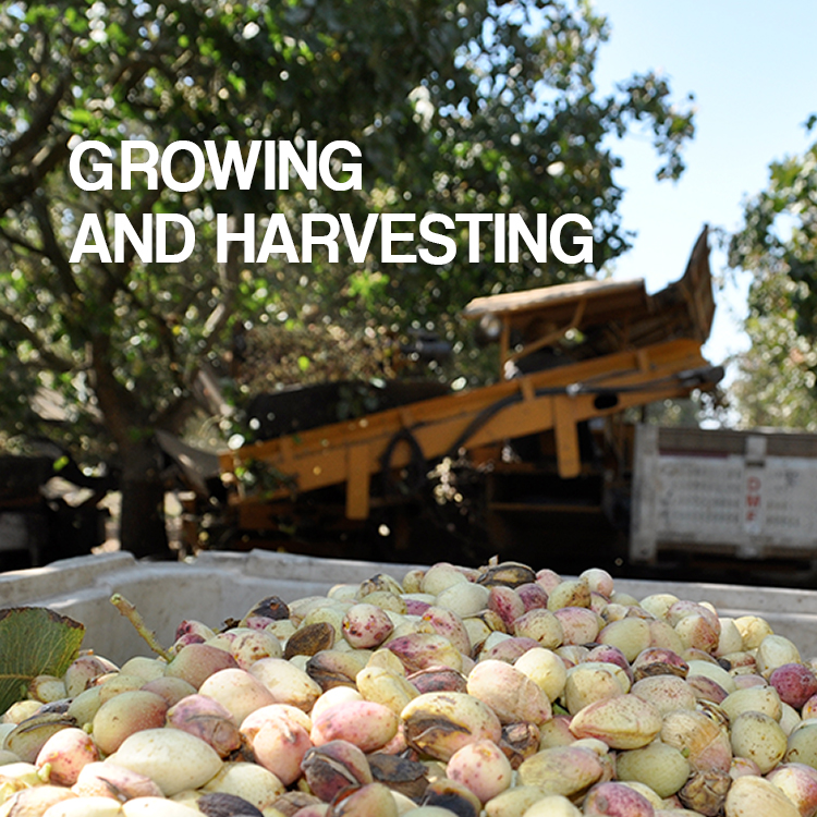 American Pistachio Growinh and Harvesting